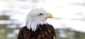 bald-eagle-138_M1cr5UYO CROPPED